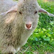 White Wool Lamb